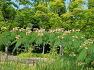 대구수목원에 정신안정 불면증 치료제 부부간의 금슬을 좋게하고 행복한 가정을 만드는 자귀나무(야합수),꽃,효능,유래.