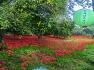 천년의 사랑을 꿈꾸는 불갑산 상사화 산야를 붉게 물들이다