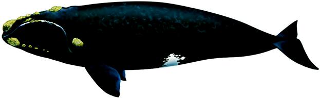 흰긴수염고래 No! 대왕고래 OK!
