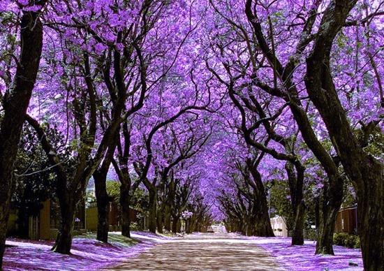 Jacarandas Walk, Johannesburg